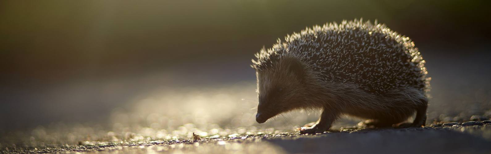 What to do if you find a hedgehog this winter