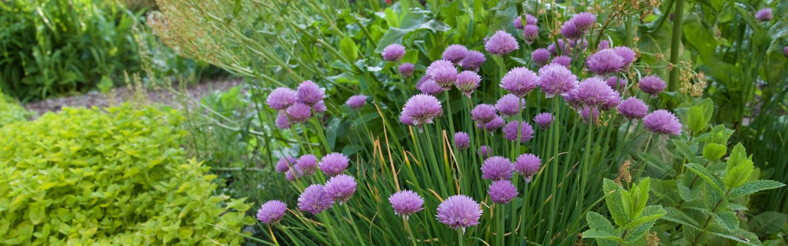 Ornamental edibles – five plants for beauty and practicality