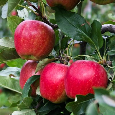 Grow your own mini-orchard in pots this summer