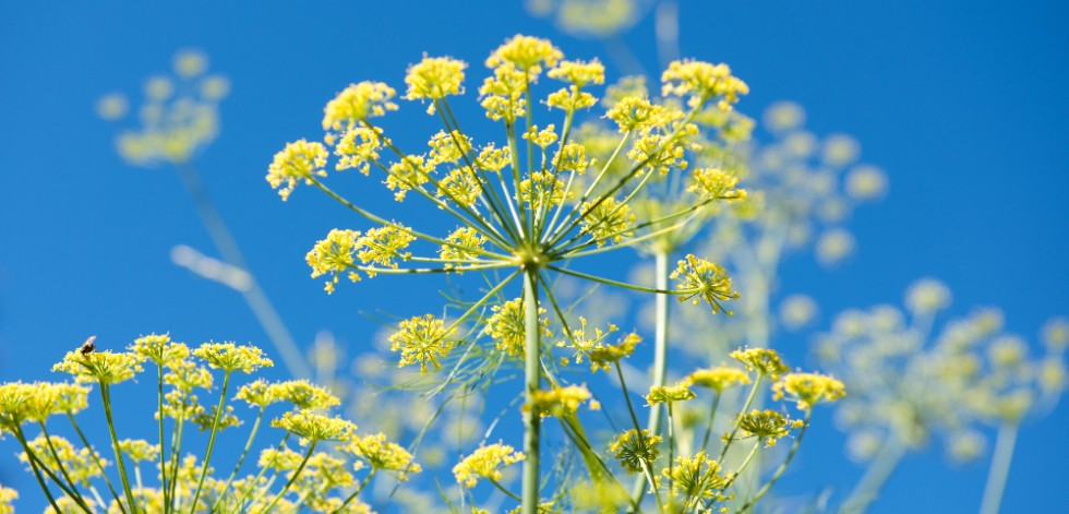 Bright yellow fennel flowers against a blue sky