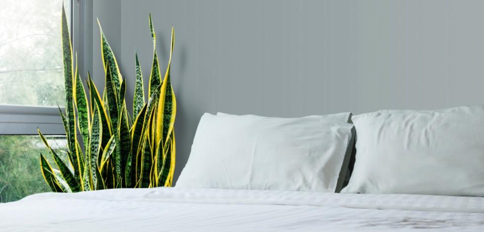 Sansevieria trifasciata plant next to a double bed