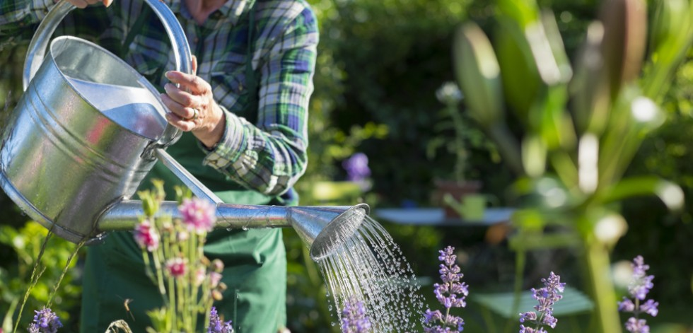 Older woman watering purple plants with a metal watering can