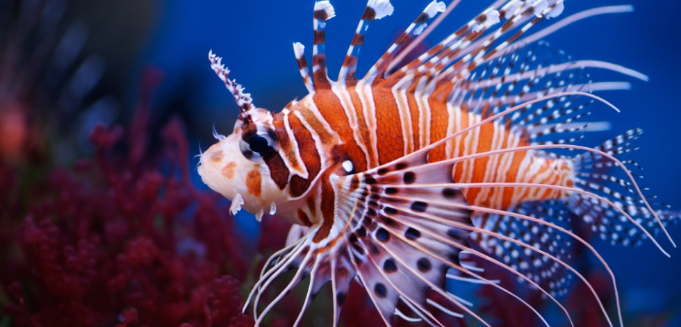 A photo of the side view of an orange, white and brown striped lionfish, drifting underwater above a reef