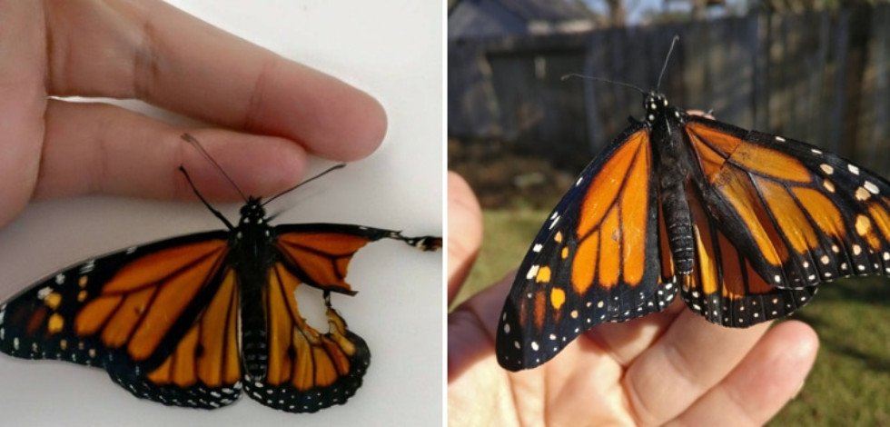 Butterfly with its torn wing and butterfly with its repaired wing