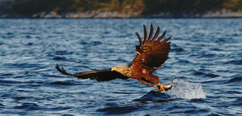 White-tailed sea eagle pulling a fish from the water