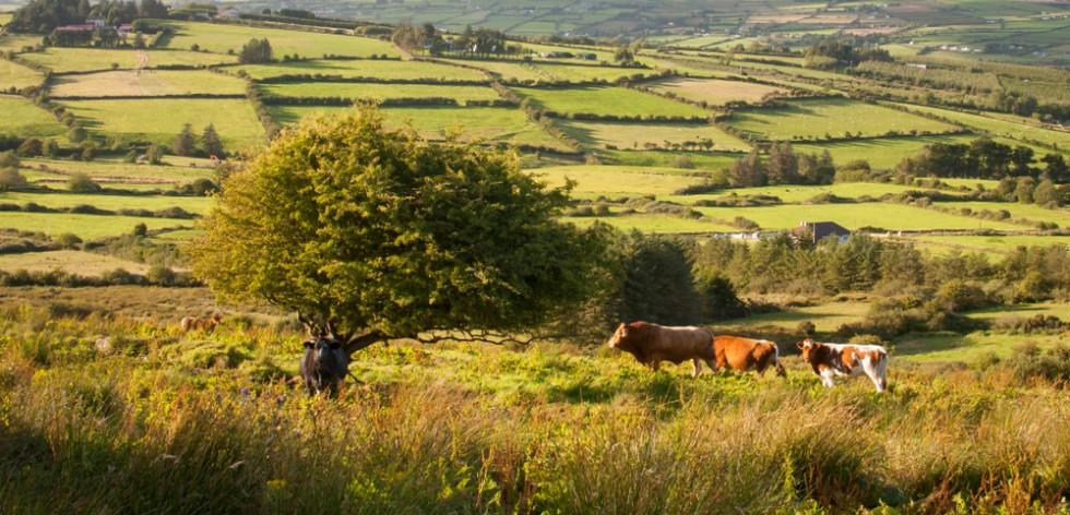 Cattle on a green hillside