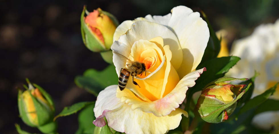 Bee resting on a yellow rose