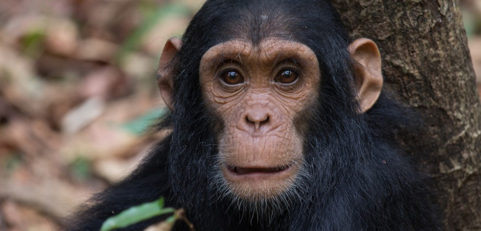 Young chimpanzee looking into the camera