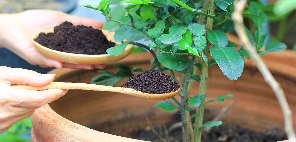 Woman spooning used coffee grounds into a potted plant