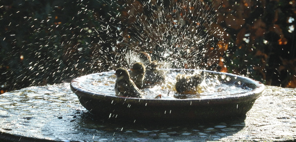 Birds splashing in a water feature